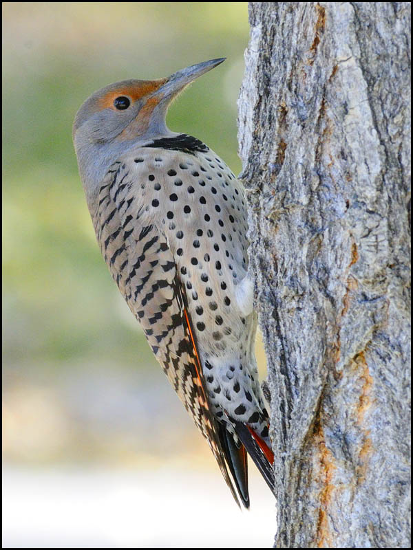 Northern flicker male vs female